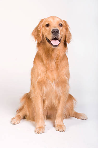 golden retriever sitting - golden retriever stock photos and pictures