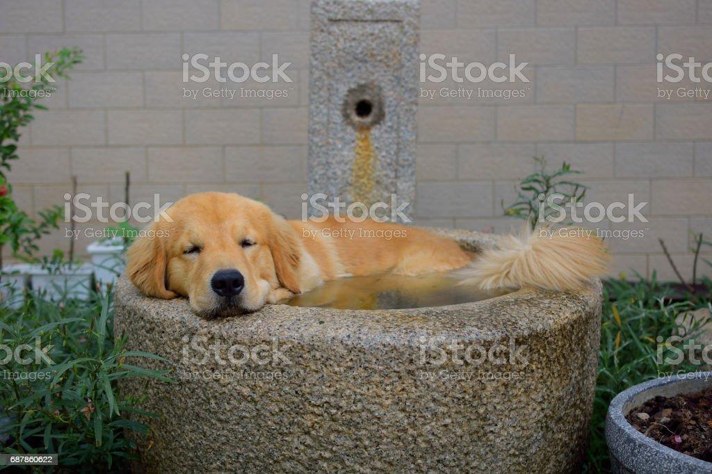 Golden Retriever Sleeping in the Bathtub Outdoor stock photo