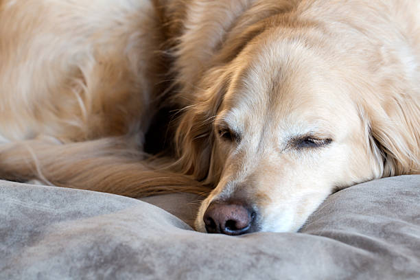 golden apportierhund schlafen auf seinem hund bett - katzen kissen stock-fotos und bilder