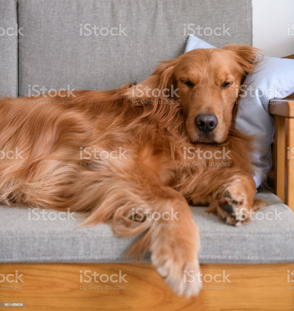 Golden retriever sleeping on the couch stock photo