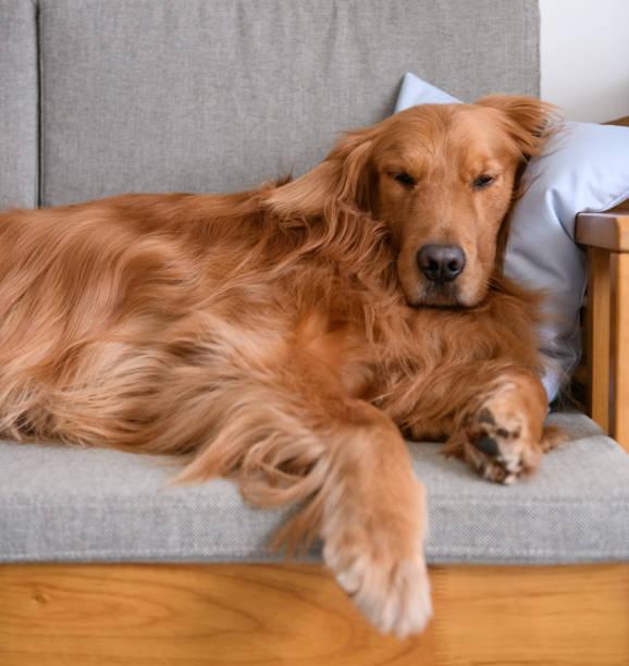Retriever dourado, dormindo no sofá - foto de acervo