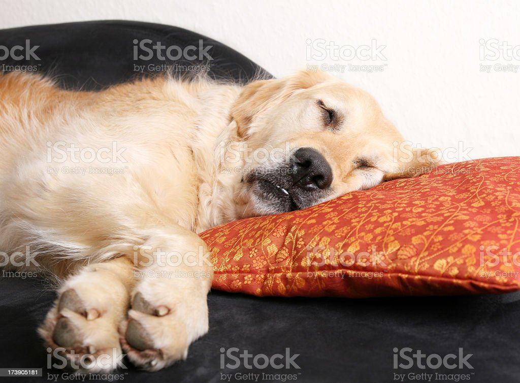 Golden retriever sleeping with head on pillow royalty-free stock photo