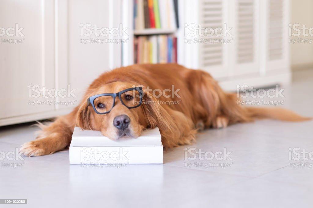 Golden Retriever sleeps with a book on his pillow stock photo