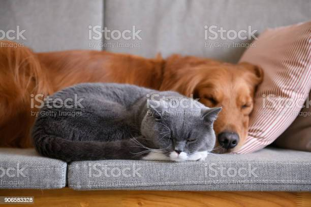 Golden retriever sleeps with the cat picture id906583328?b=1&k=6&m=906583328&s=612x612&h=gepb 1eyzfa4s4 qg 4ts4bsksn 2perl1pzg8se6lo=