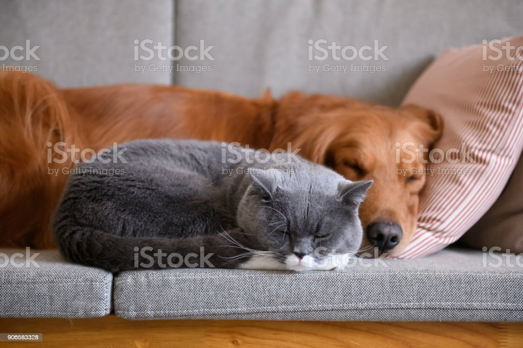 Golden Retriever sleeps with the cat stock photo