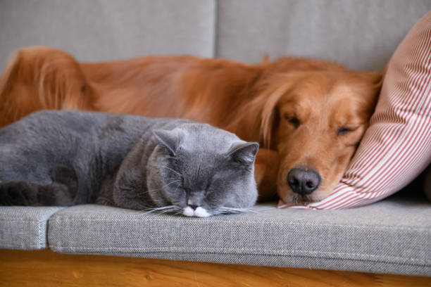 Golden retriever sleeps with the cat picture id963093596?b=1&k=6&m=963093596&s=612x612&w=0&h=qtko igszu4uwnhvcmigojarcpjja3yknude0ym 4v0=