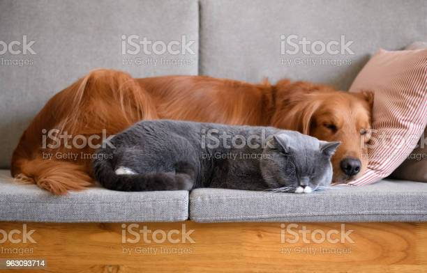 Golden retriever sleeps with the cat picture id963093714?b=1&k=6&m=963093714&s=612x612&h=3cdtpg5edkhen91alxkkit5e0wy9umazjvoygnv6ipo=