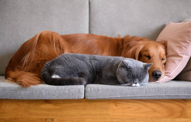 Golden retriever sleeps with the cat picture id963093714?b=1&k=6&m=963093714&s=612x612&w=0&h=ir3oytsmj29d8kbux938diy3gpuo8p7prz g7vngacg=