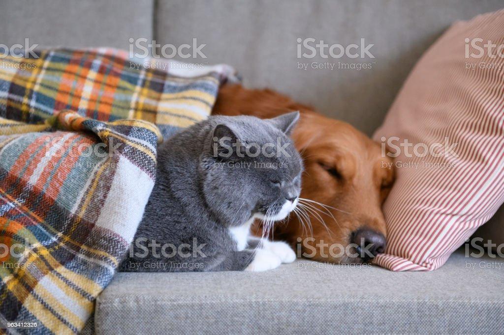 Golden Retriever sleeps with the cat - Zbiór zdjęć royalty-free (Bez ludzi)
