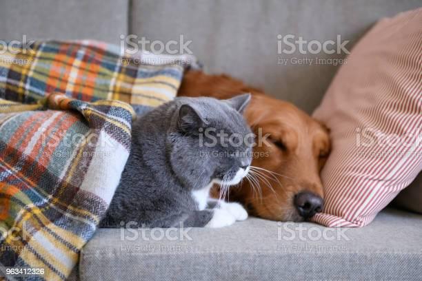Golden Retriever Śpi Z Kotem - zdjęcia stockowe i więcej obrazów Kot domowy