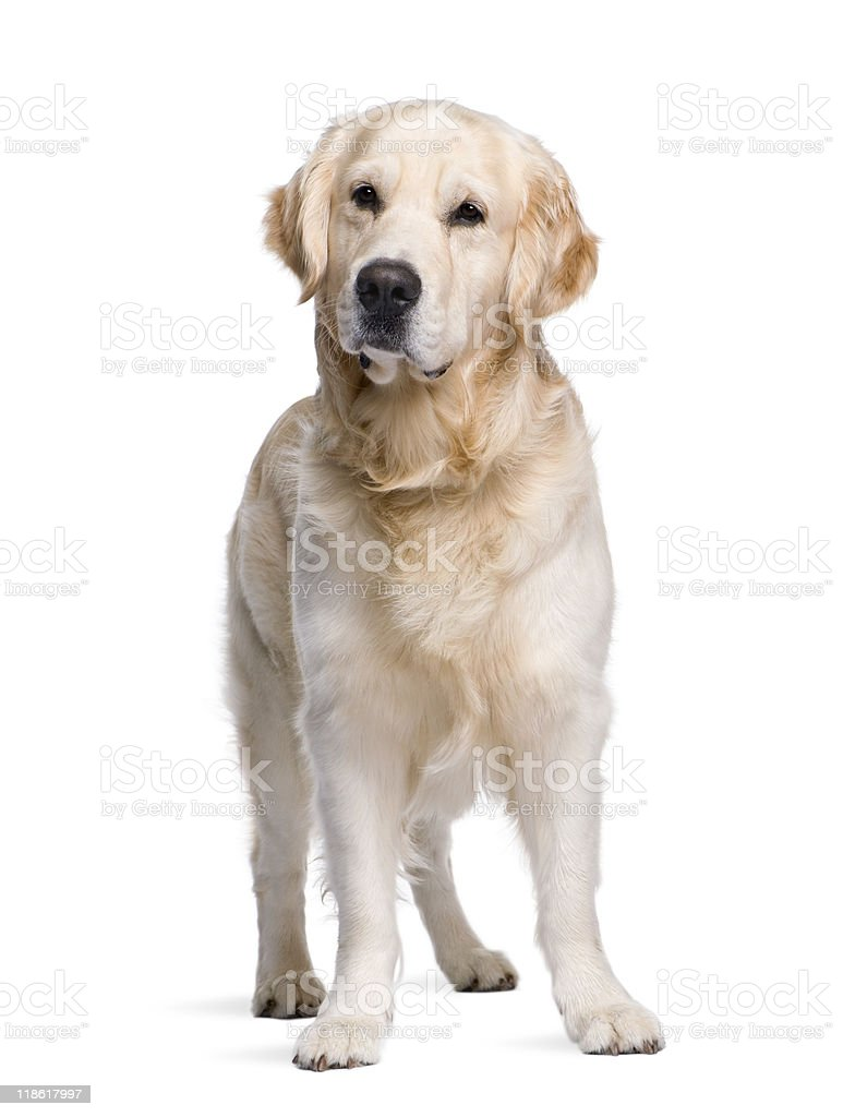 Golden Retriever standing in front of white background royalty-free stock photo