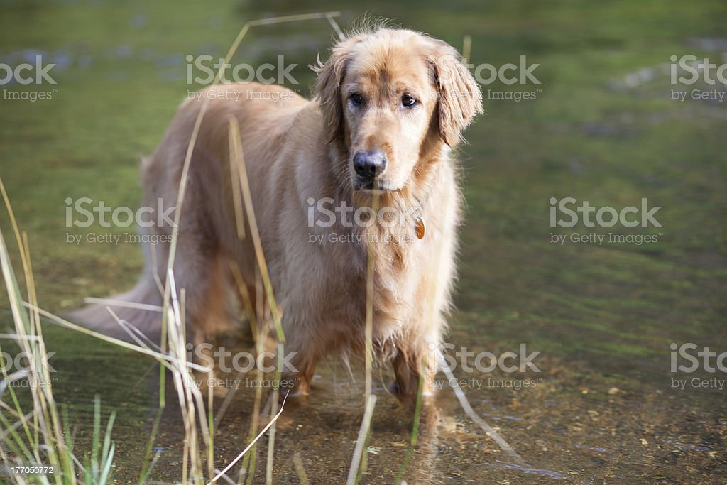 Golden Retriever stands in water while playing at river royalty-free stock photo