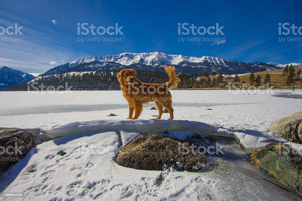 Golden retriever stands prouldy on heaved ice of lakeshore stock photo