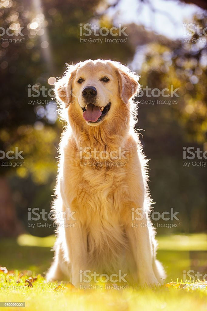 Golden Retriever sticking out tongue at park stock photo