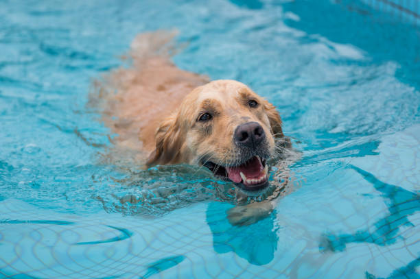 Golden retriever swimming and playing in the pool – zdjęcie