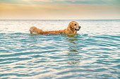 Golden retriever swimming playing in the sea water at sunrise. The scene is situated at Smokinya beach (Black Sea) near Sozopol, Bulgaria (Eastern Europe) during summer sunrise or sunset. The picture is taken with Sony A7III camera.