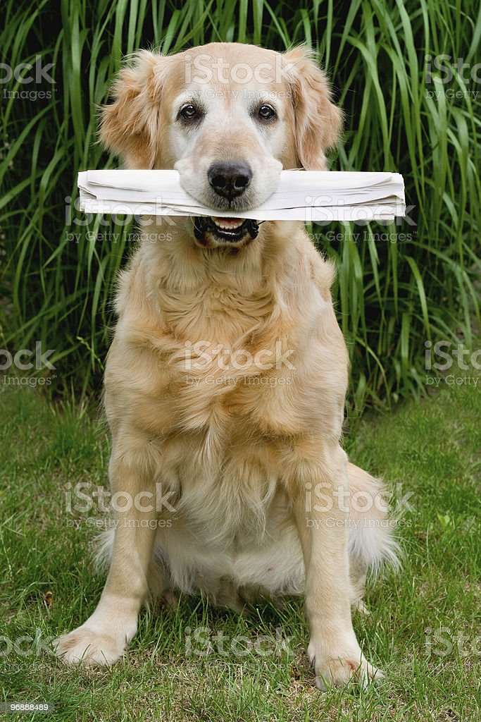 Golden retriever that the holds in muzzle newspaper royalty-free stock photo