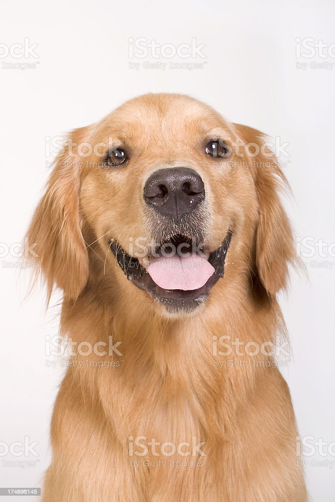 Golden Retriever tight shot royalty-free stock photo