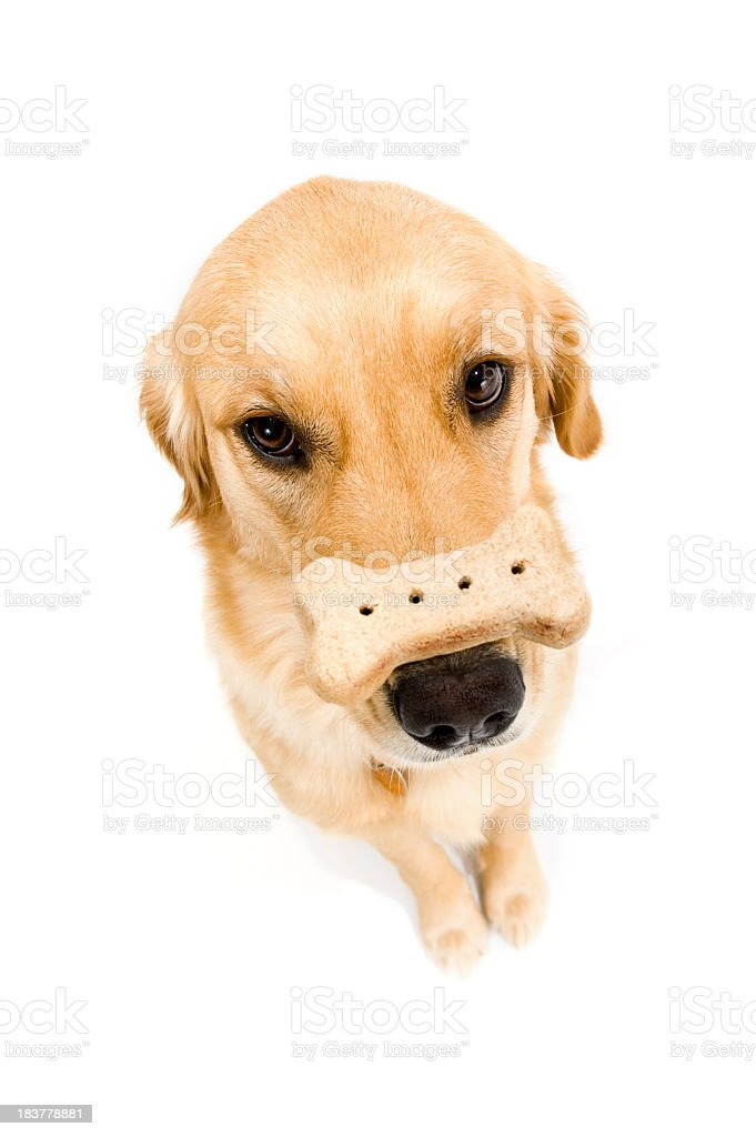 Golden Retriever trick - Biscuit on nose royalty-free stock photo