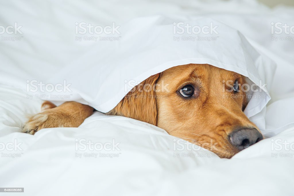 Golden Retriever under white sheet stock photo