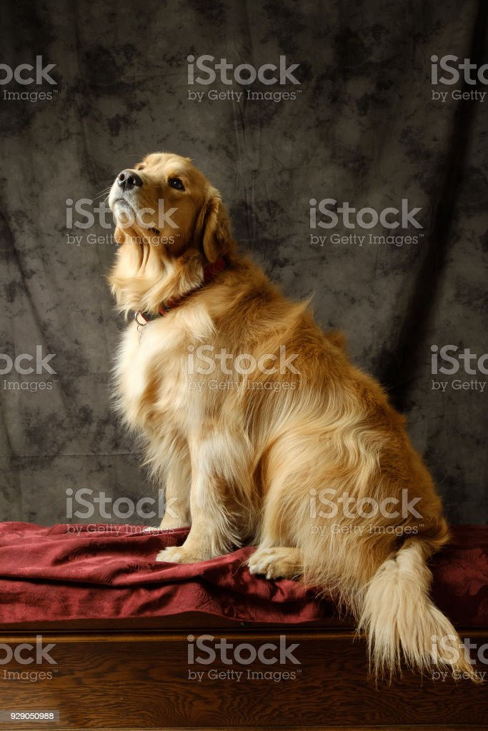 Golden Retriever waiting for her snack stock photo