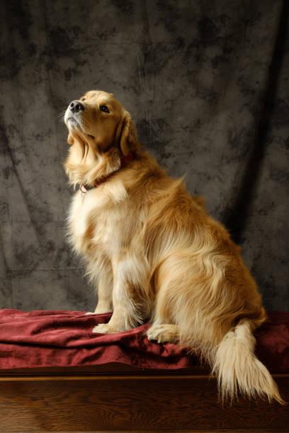 Golden Retriever waiting for her snack stock photo