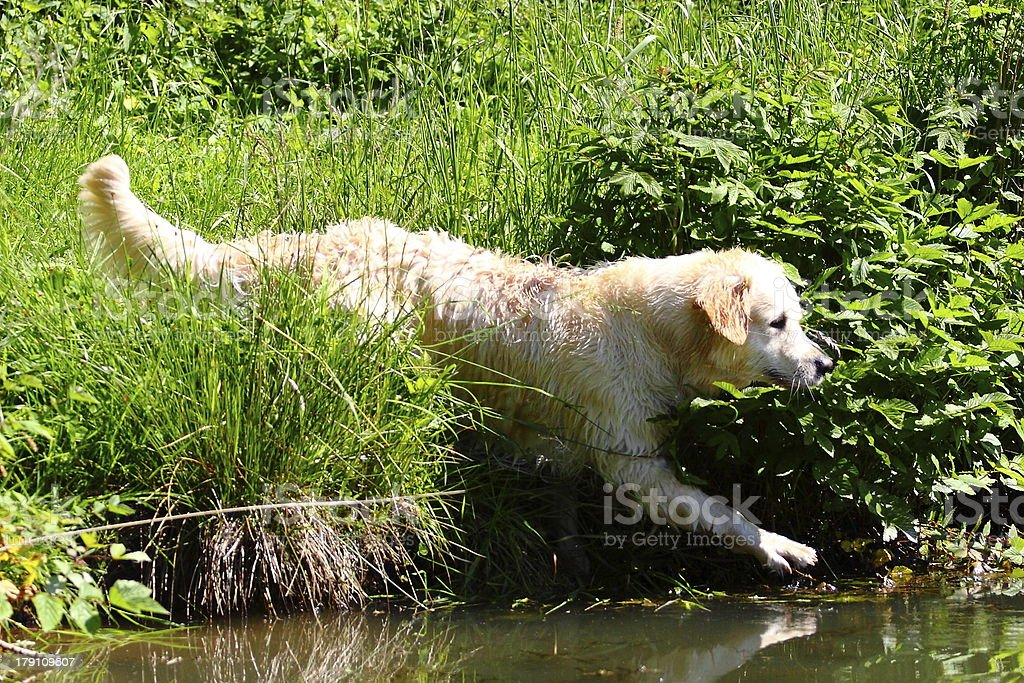 Golden Retriever walks into a lake royalty-free stock photo