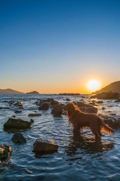 Golden Retriever watching the sunrise by the sea – zdjęcie