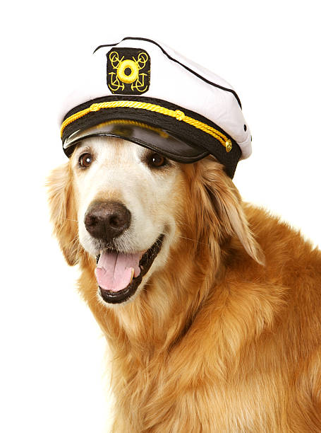 Golden Retriever Wearing a Captain Hat A golden retriever dog is ready to go sailing with his captain's hat on a white background. sailor hat stock pictures, royalty-free photos & images