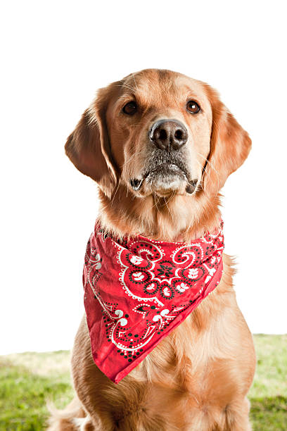 Golden Retriever Wearing Bandana Isolated on white stock photo