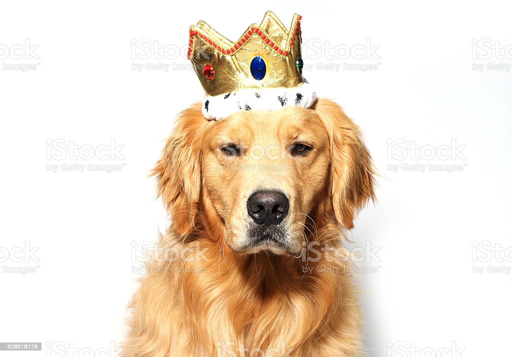 Golden Retriever wearing king's crown stock photo