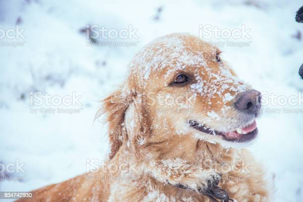 Golden retriever winter close up picture id834742930?b=1&k=6&m=834742930&s=612x612&h=dequbxymm308mg1r elbuoyoszhrmy13mc5agamlrec=