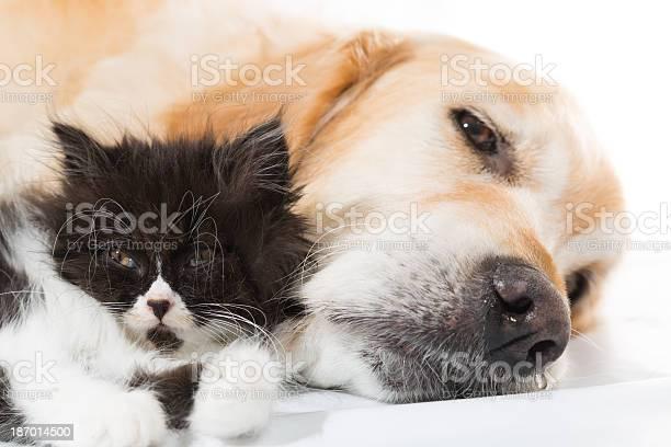 Golden retriever with a persian cat picture id187014500?b=1&k=6&m=187014500&s=612x612&h=wdyclyo6 2f9azmnckl7qfdqnxj7awfubmjr4d9vwss=
