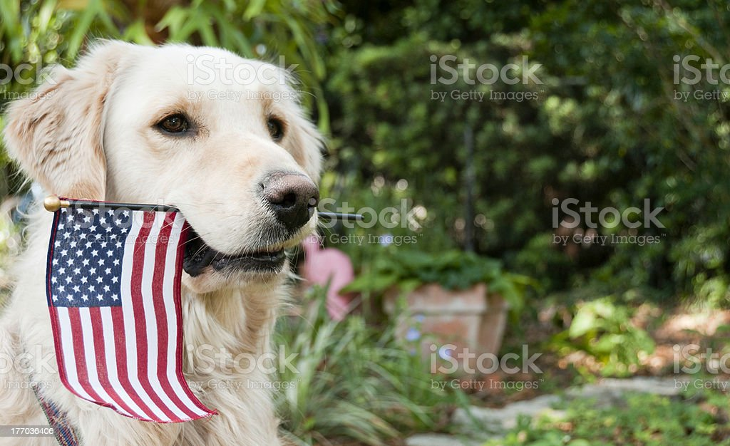 Golden Retriever with American Flag in his mouth stock photo