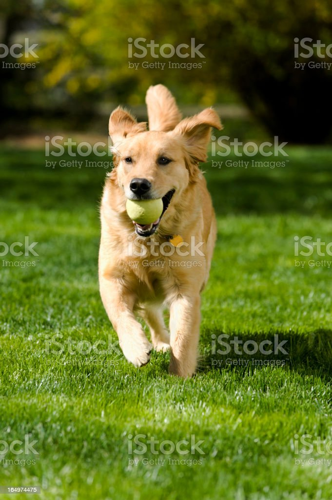 Golden Retriever with ball in mouth playing fetch stock photo