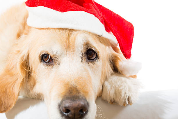 Golden retriever with christmas hat stock photo