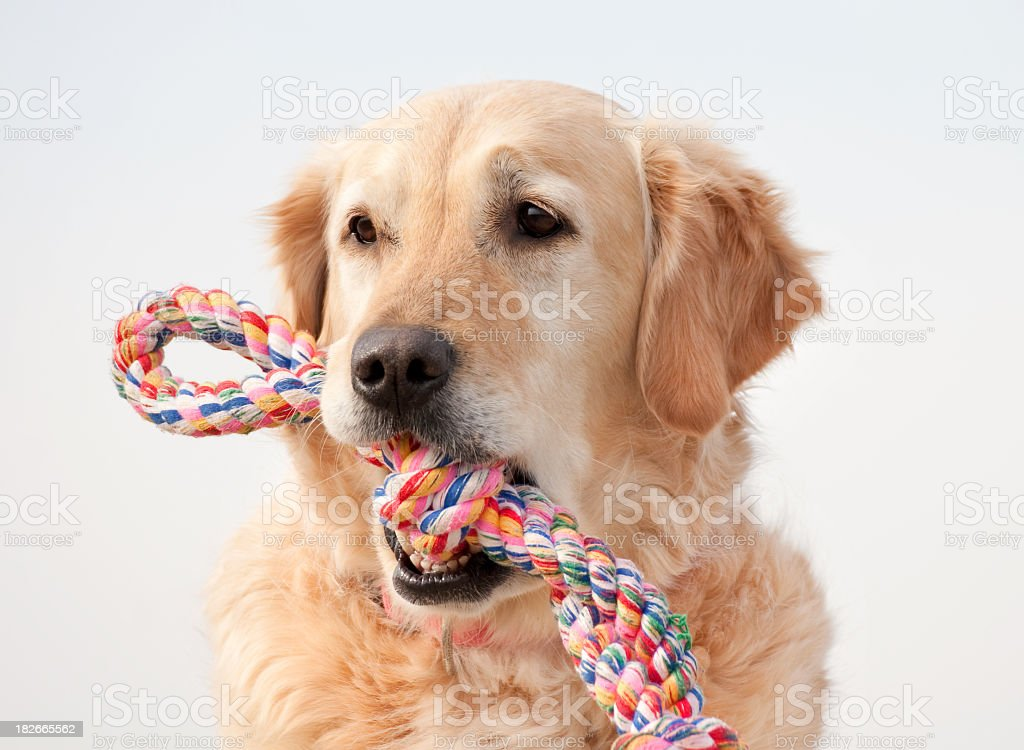 Golden retriever with colorful toy in mouth stock photo