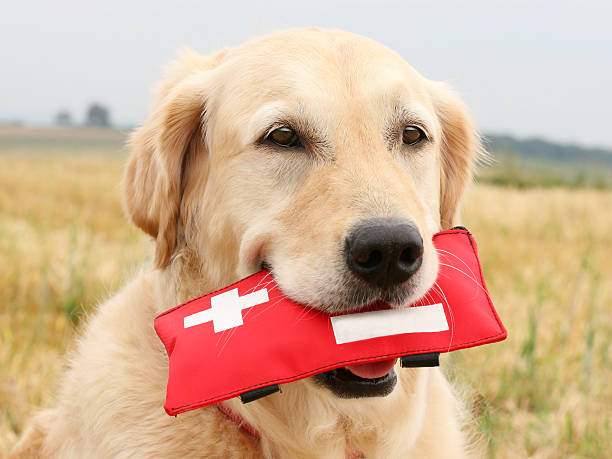 Golden Retriever with First-Aid-Kit stock photo