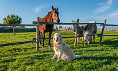 Golden Retriever with Horse and Donkeys
