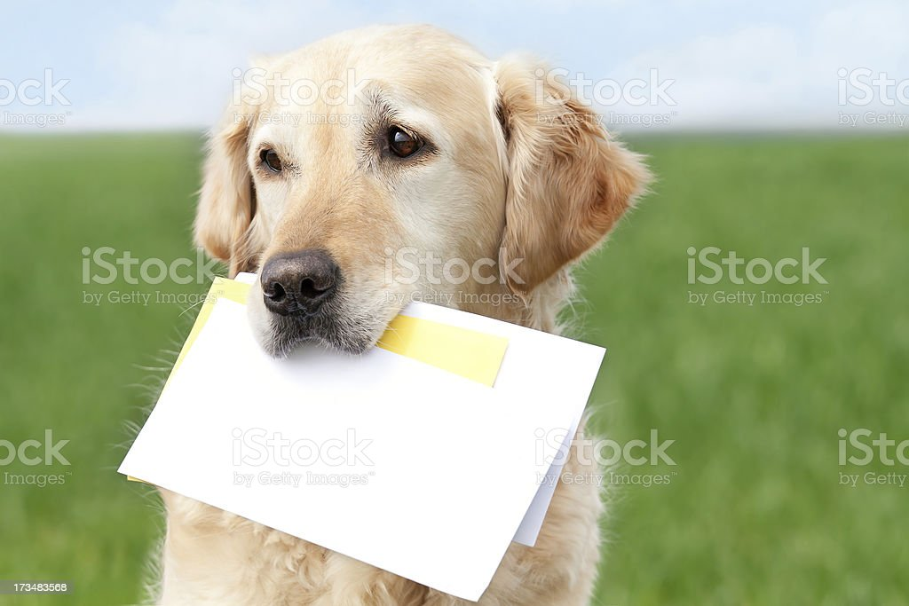 Golden Retriever with letters stock photo
