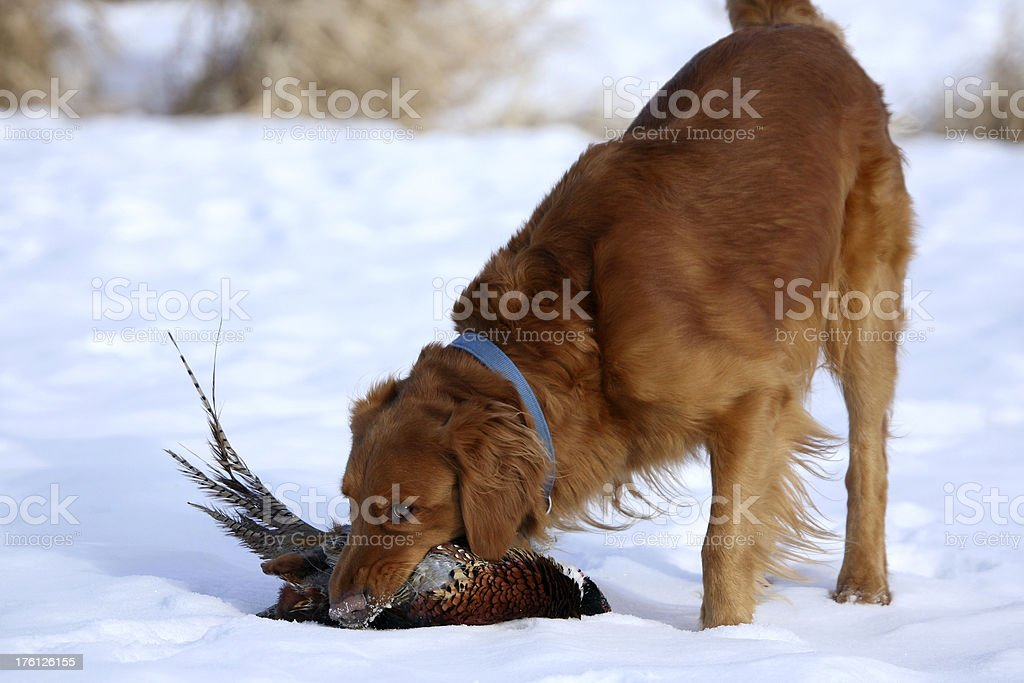 Golden Retriever with Pheasant royalty-free stock photo