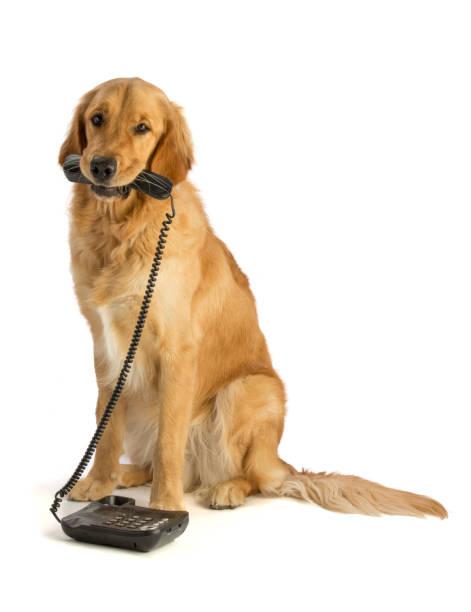 Golden Retriever mit Telefon – Foto