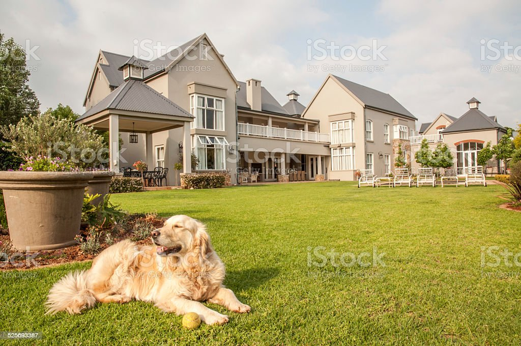 Golden Retriever with Tennis Ball stock photo