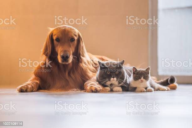 Golden retriever with two cats picture id1022109114?b=1&k=6&m=1022109114&s=612x612&h=ag0jrrpuqcdahdy8bmvlcgb3i6dtp4fxaijtajnma0y=
