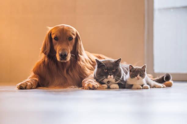 Golden Retriever com dois gatos - foto de acervo