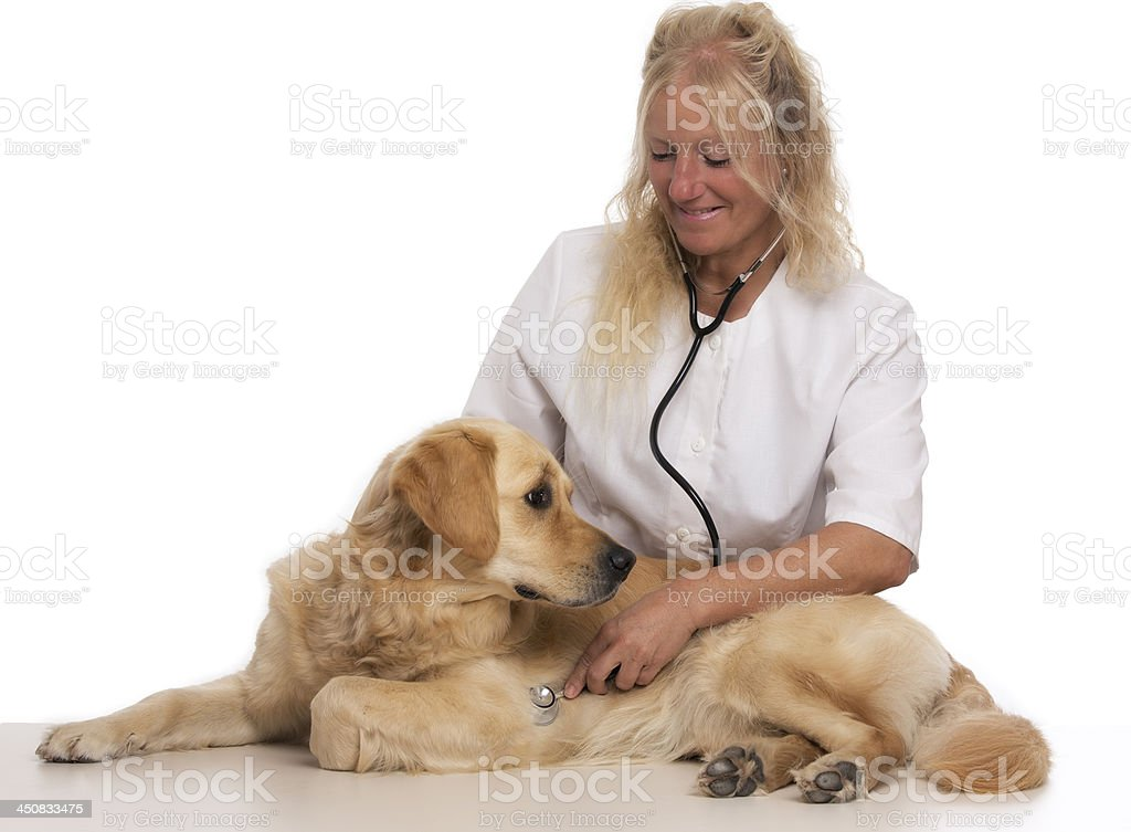 Golden retriever  with vet royalty-free stock photo