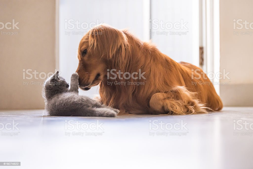 Golden retrievers and British shorthair foto royalty-free