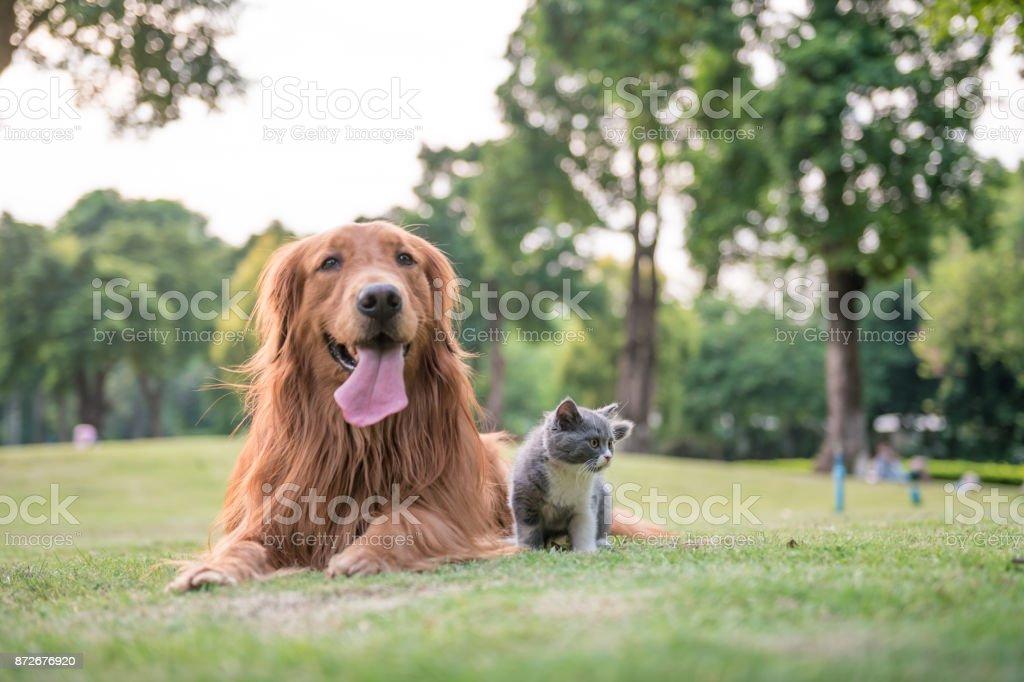 Golden Retrievers e gatinhos na grama - foto de acervo