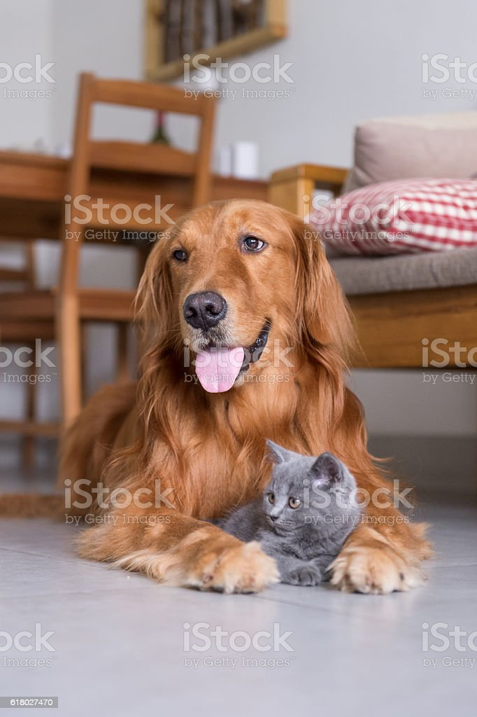 Golden retrievers and shorthair kitten - foto de acervo