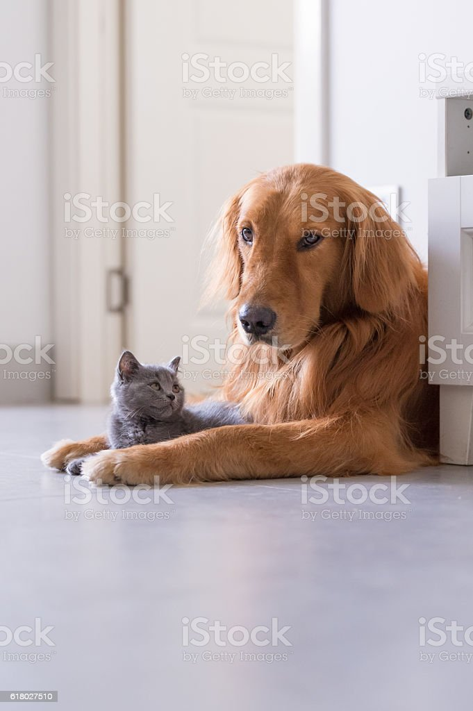 Golden retrievers and shorthair kitten foto royalty-free